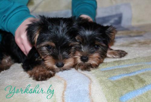 Продам щенка йорка мини, бэби-фэйс, 4 месяца