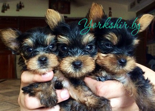 как выбрать йоркширского терьера щенка