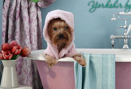 Как правильно мыть щенка йоркширского терьера?